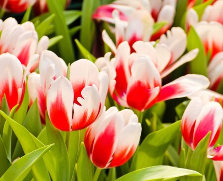 Colorful Tulips in Garden Stock Photo - 17474507