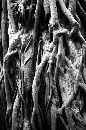 arbol raices: Raíces de los árboles viejos.