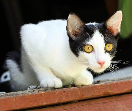playful behaviour: Thai Cat Stock Photo