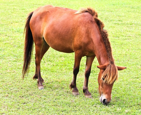 Horse eating grass photo