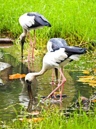 anastomus: Open billed Stork bird, Anastomus oscitans in the water
