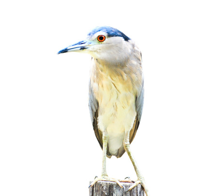 danube delta: Black-crowned Night Heron Bird isolated on white background. Stock Photo