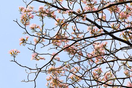 rosea: Tebebuia Flower (Pink trumpet) blooming, Tabebuia rosea