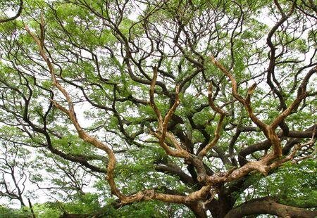 the largest: The Largest Monkey Pod Tree.