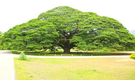 largest: Largest Monkey Pod Tree in Kanchanaburi, Thailand Stock Photo
