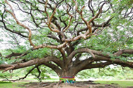 large tree: Largest Monkey Pod Tree in Kanchanaburi, Thailand Stock Photo