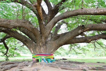 the largest: Largest Monkey Pod Tree in Kanchanaburi, Thailand Stock Photo