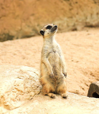 face guard: Meerkat in the zoo Stock Photo