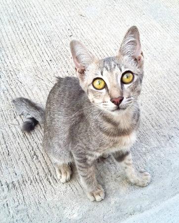 prowl: Thai Cat Stock Photo