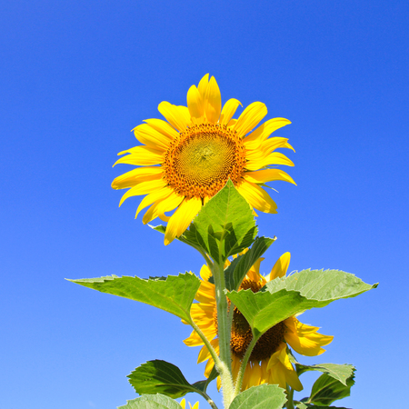 sky natural: Sunflower Field. Stock Photo
