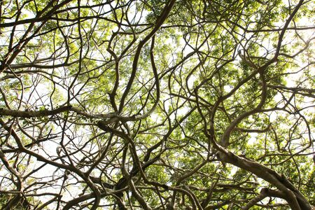 banyan: Arbor of old banyan tree