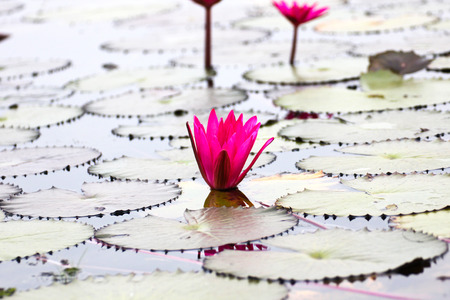 jardines con flores: El lago de los nen�fares, Udonthani, Tailandia Foto de archivo