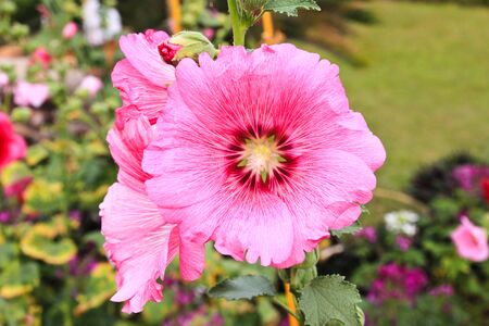 rosea: Pink hollyhock (Althaea rosea) blossoms