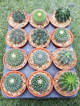Variety of cactus pot plant. Stock Photo