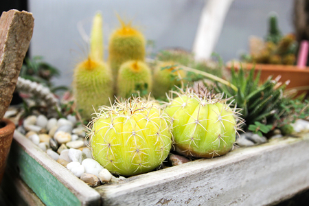 Small cactus in a pot