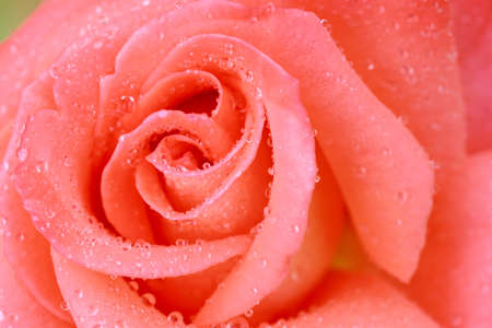 close up pink rose background as abstract stlye photo