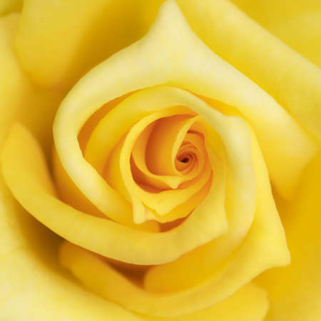 Yellow rose flower as close up Archivio Fotografico