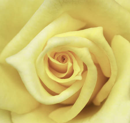 Yellow rose flower as close up Stock Photo