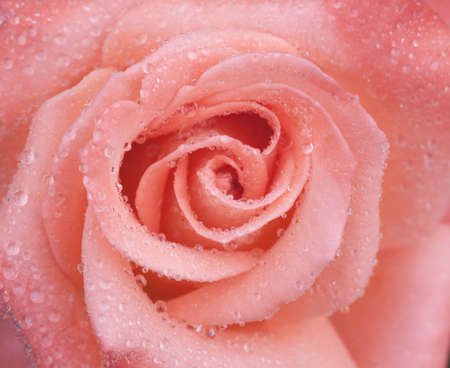 close up pink rose and water drop