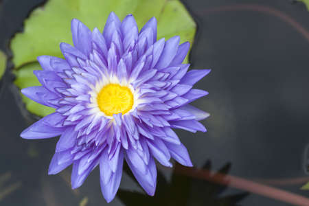 Close-up inside of beautiful violet lotus, Thailand  photo