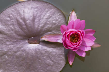 Close-up inside of beautiful White lotus, Thailand  photo