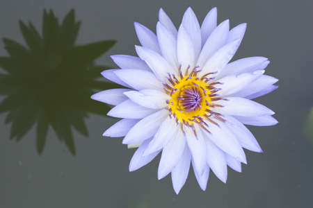 Purple lotus blossoms or water lily flowers blooming on pond photo