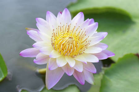 Lotus flower in the pool Stock Photo