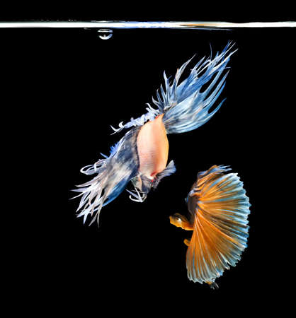 Abstract back fighting fish on black background Stock Photo