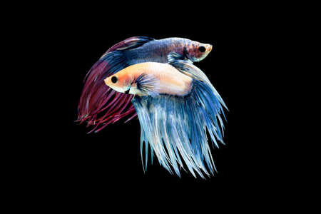 Fighting fish with blur fish on the background