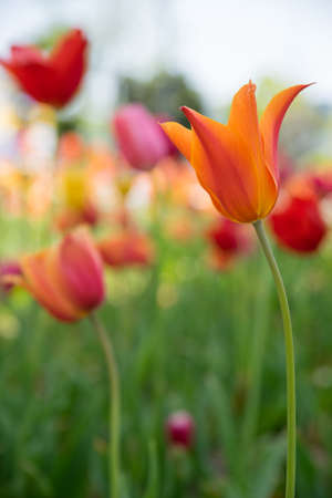 Orange tulip flower in the garden Stock Photo