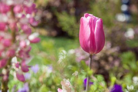 Tulip flower in the blur garden background Stock Photo