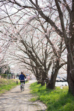 A woman ride the bicycle in the sakura tree garden Stock Photo