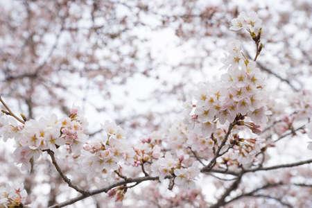Sakura flower tree as close up Stock Photo