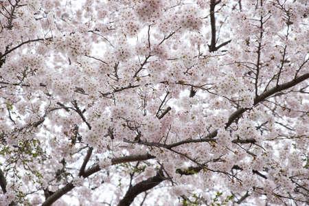 Sakura flower as texture background