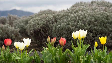 Tulip flower in the garden park