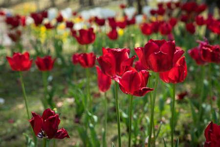 Red tulip flower in the green garden Archivio Fotografico
