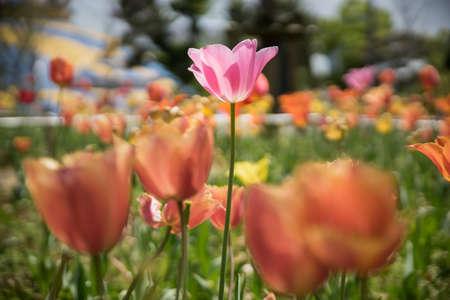Pink tulip flower in the  tulip flower garden