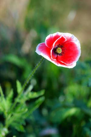 Poppy red flower in the garden Archivio Fotografico