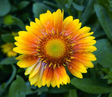 Yellow flower in green garden Archivio Fotografico
