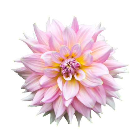 Pink flower on isolate background Stock Photo