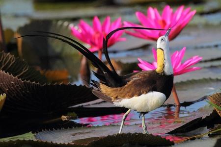 jacana: Pheasant-tailed Jacana, Birds in Thailand Stock Photo