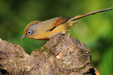 spectacled: Spectacled Barwing, Birds in Thailand