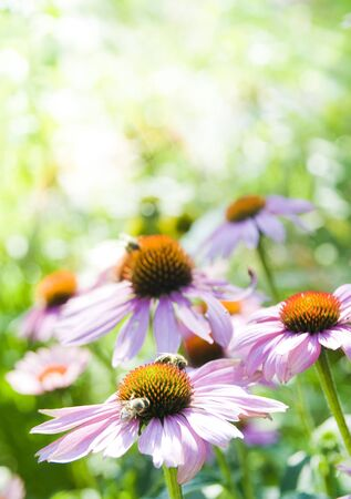 Echinacea Stock Photo - 13457726