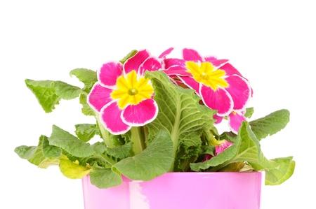 Primrose in flower pot photo