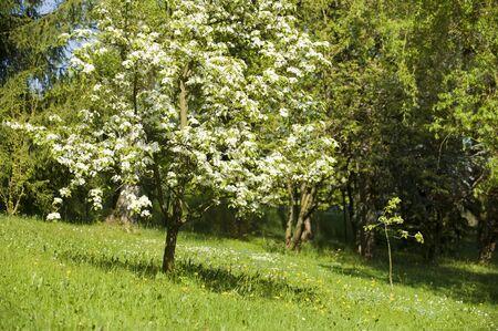 Appletree in springtime Stock Photo - 13407776