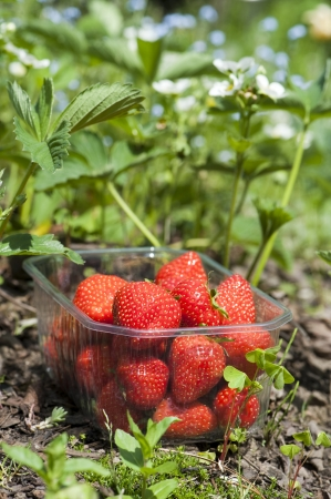 Strawberries Stock Photo - 13705290