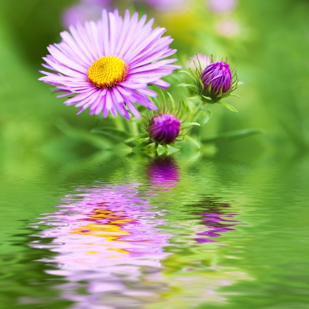 Autumn aster Stock Photo - 13961383