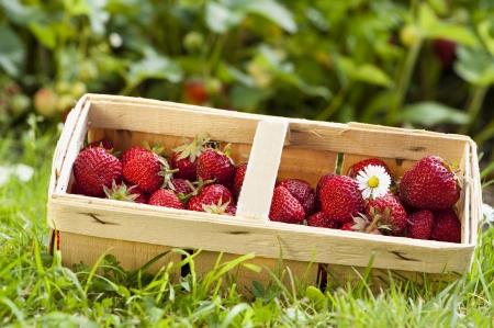 Strawberries Stock Photo - 14014292