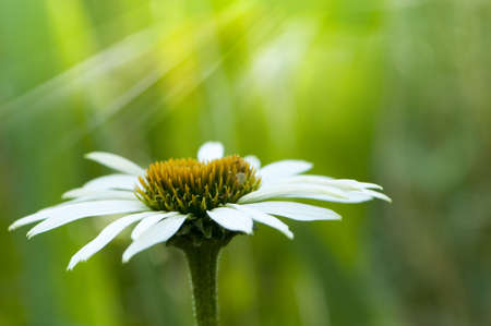 White Coneflower photo