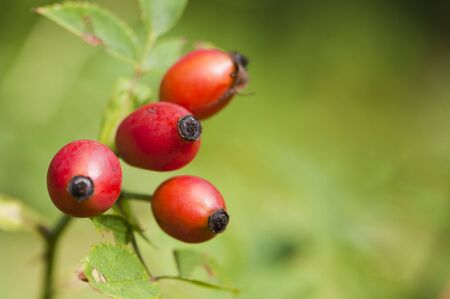 Rose hip photo